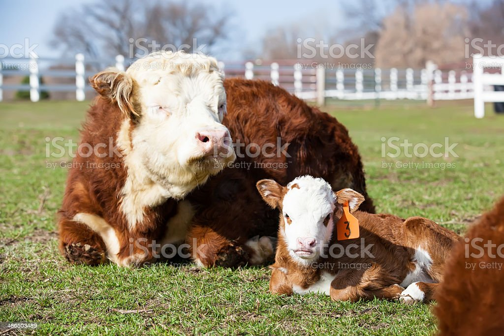 Hereford Cow & Calf in Pasture royalty-free stock photo