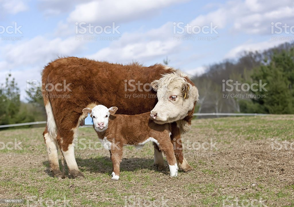 Hereford Cow & Calf royalty-free stock photo
