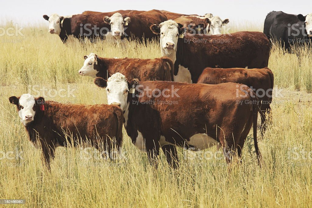 Hereford Cow Farm Pasture Livestock stock photo