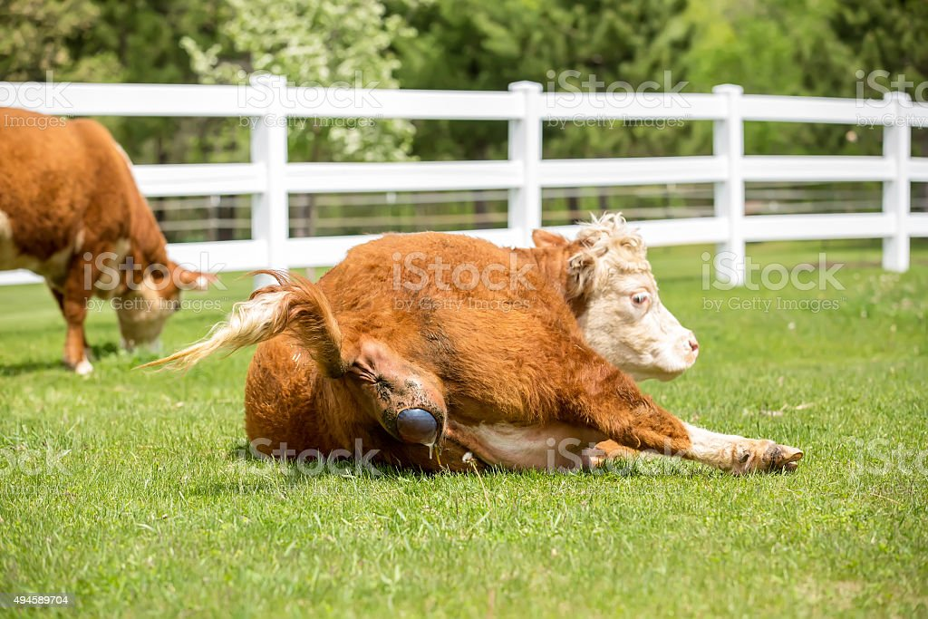 Hereford Cow Giving Birth - Early Labor stock photo
