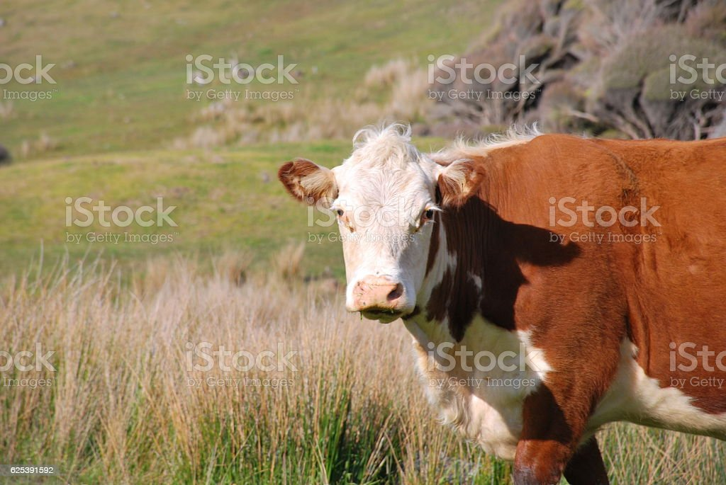 Hereford Cow in Rural New Zealand Scene stock photo