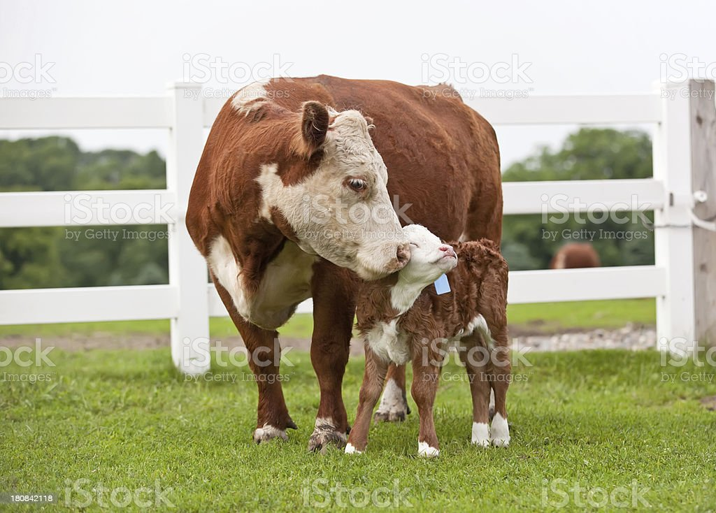 Hereford Cow Nuzzling Her Calf stock photo