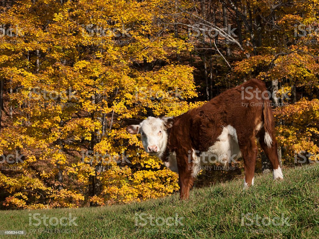 Hereford Cow on Hillside in Autumn, Vermont stock photo