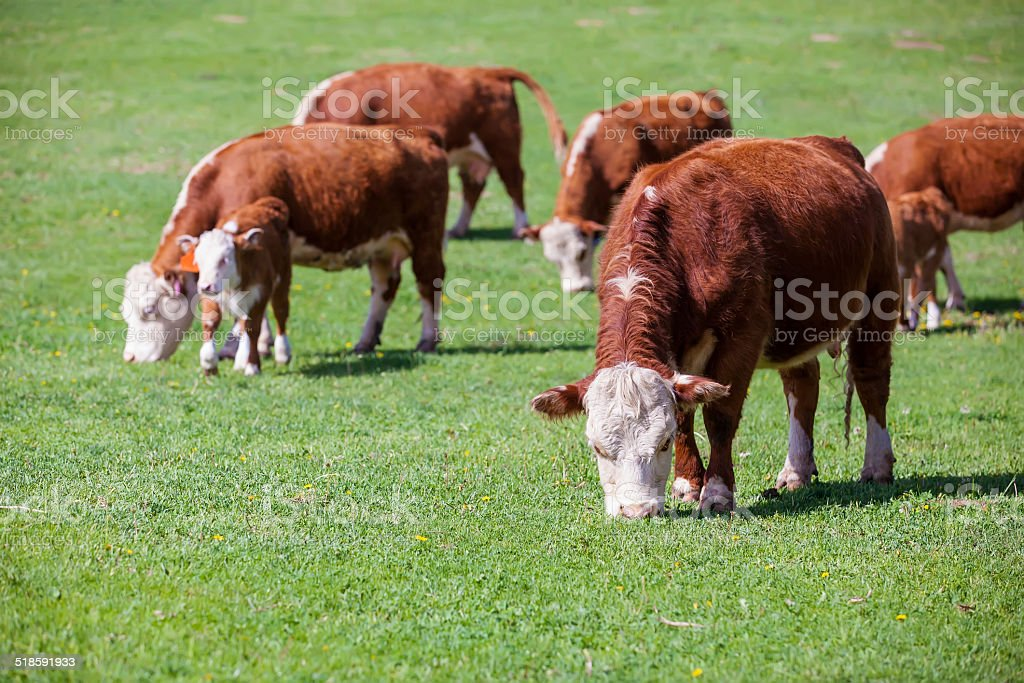 Hereford Cows Grazing stock photo