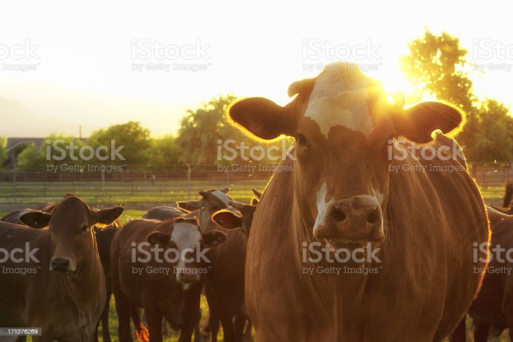 Hereford Cows in Pasture at Sunset stock photo