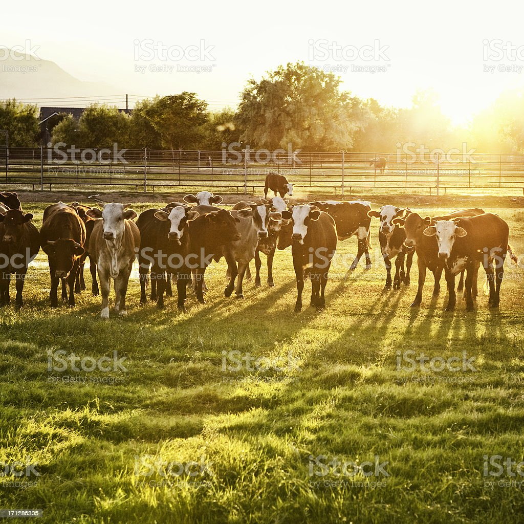 Hereford Cows in Pasture at Sunset royalty-free stock photo