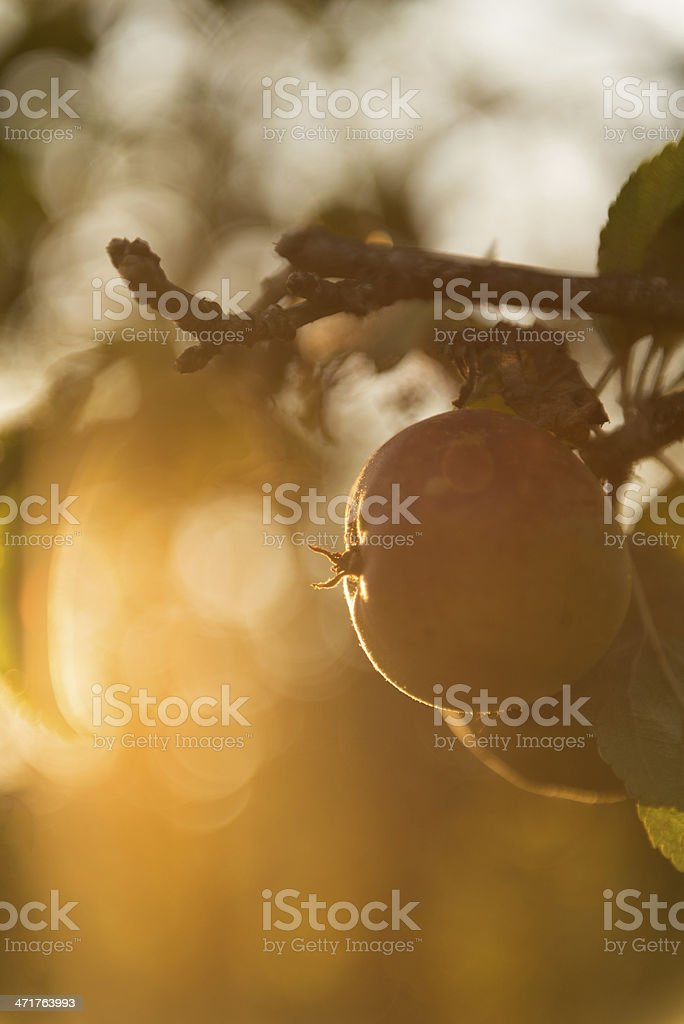 Heritage Apples in Orchard royalty-free stock photo