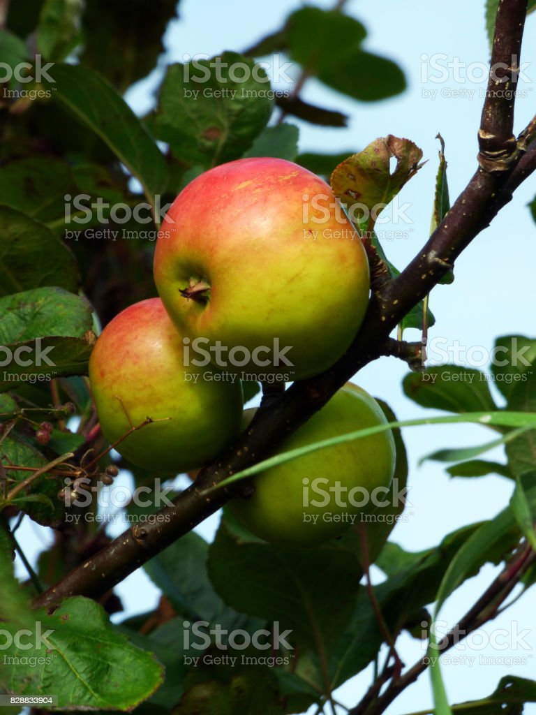 Heritage apples ripening along a country path, Isle of Iona, Scotland stock photo