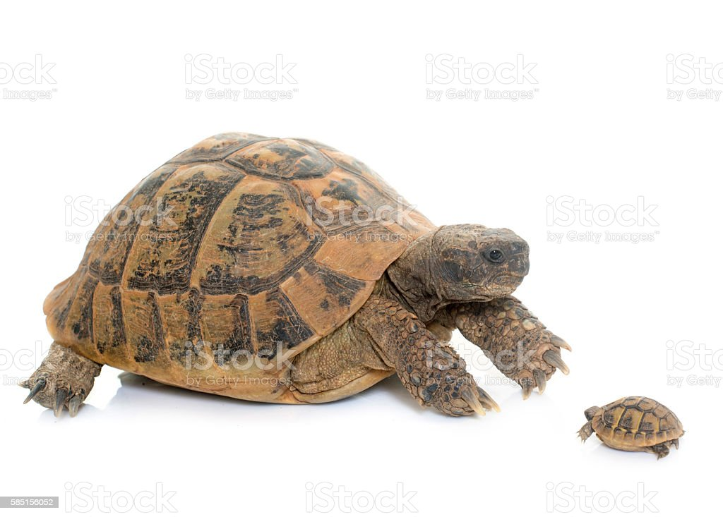 Hermanns Tortoise and baby turtle stock photo