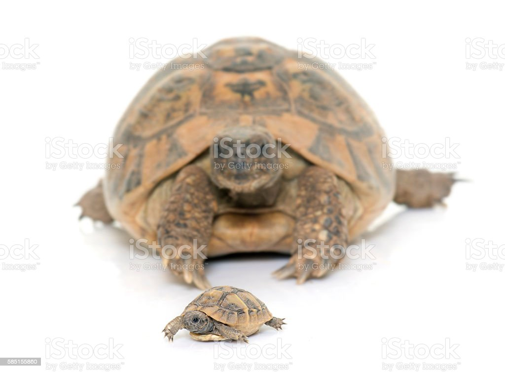 Hermanns Tortoise and baby turtles stock photo