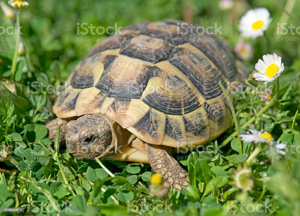 Hermann's tortoise in grass stock photo