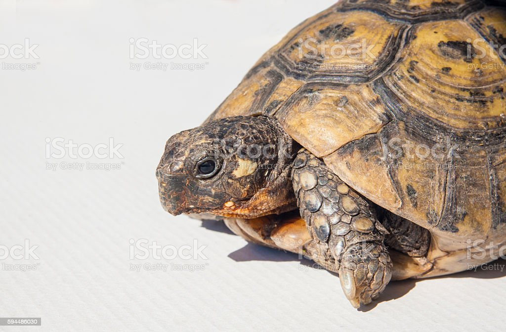 Hermann's tortoise isolated over white stock photo