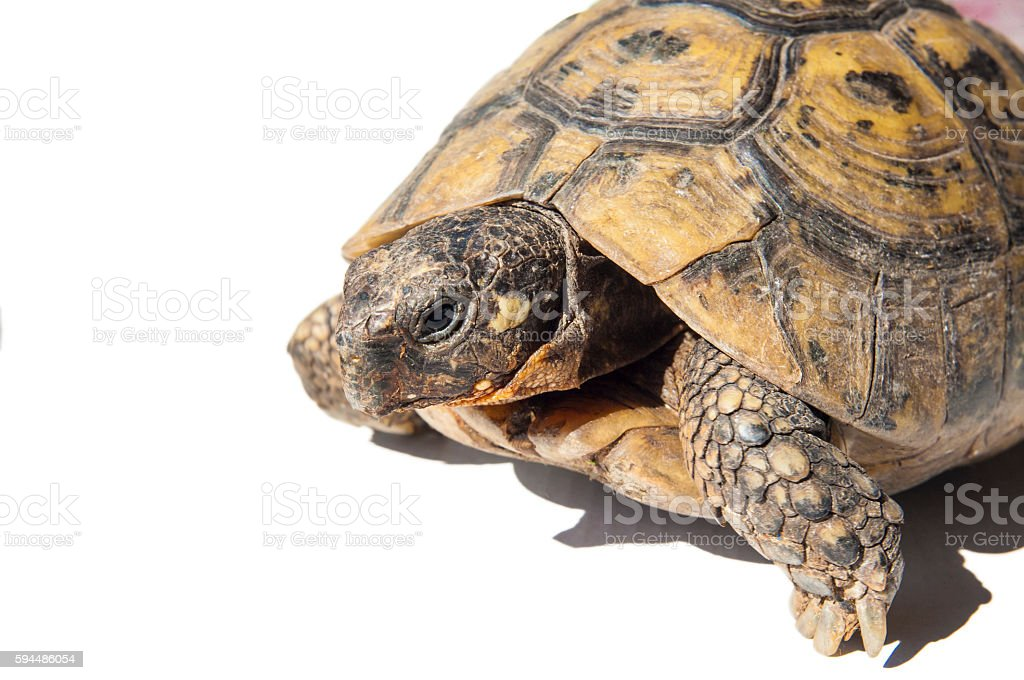 Hermann's tortoise isolated over white stock photo