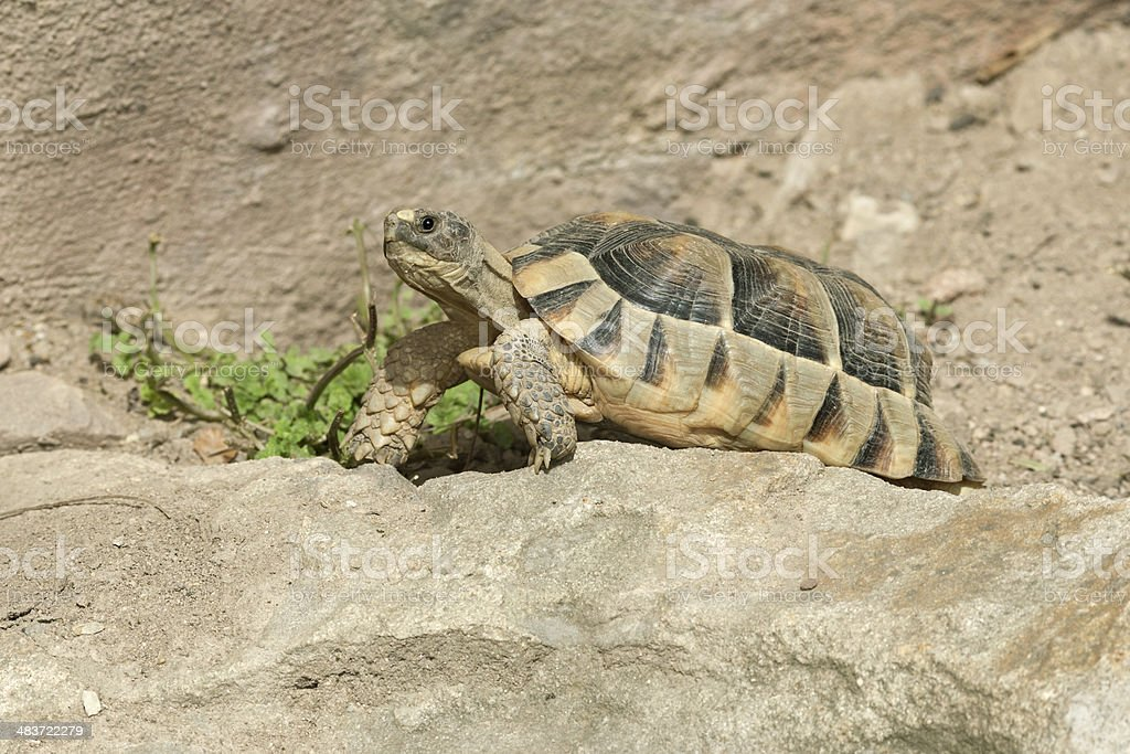 Hermann's tortoise (Testudo hermanni) stock photo