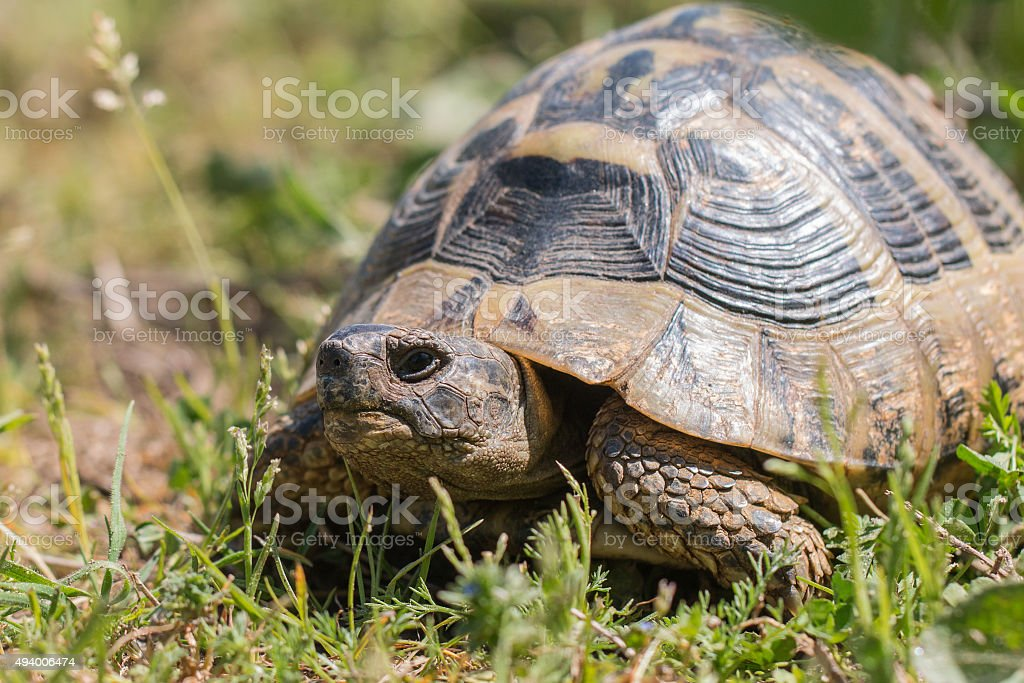 Hermann's tortoise stock photo