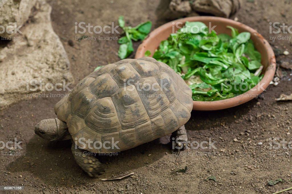 Hermann's tortoise (Testudo hermanni). stock photo
