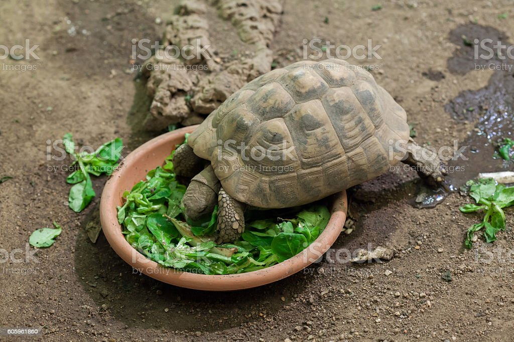 Hermann's tortoise (Testudo hermanni). stock photo