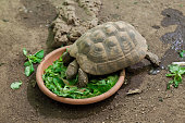 Hermann's tortoise (Testudo hermanni).