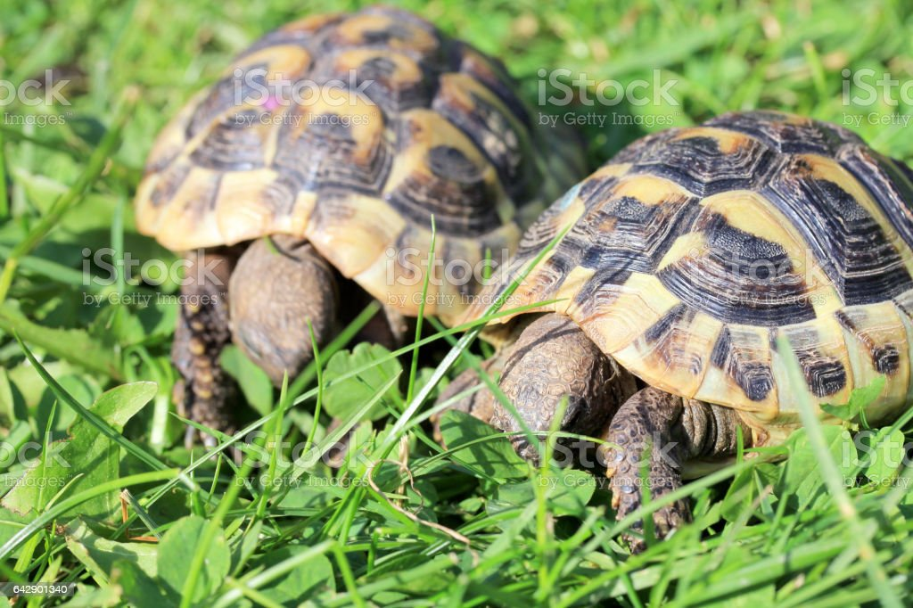 Hermann's tortoise (Testudo hermanni boettgeri) stock photo