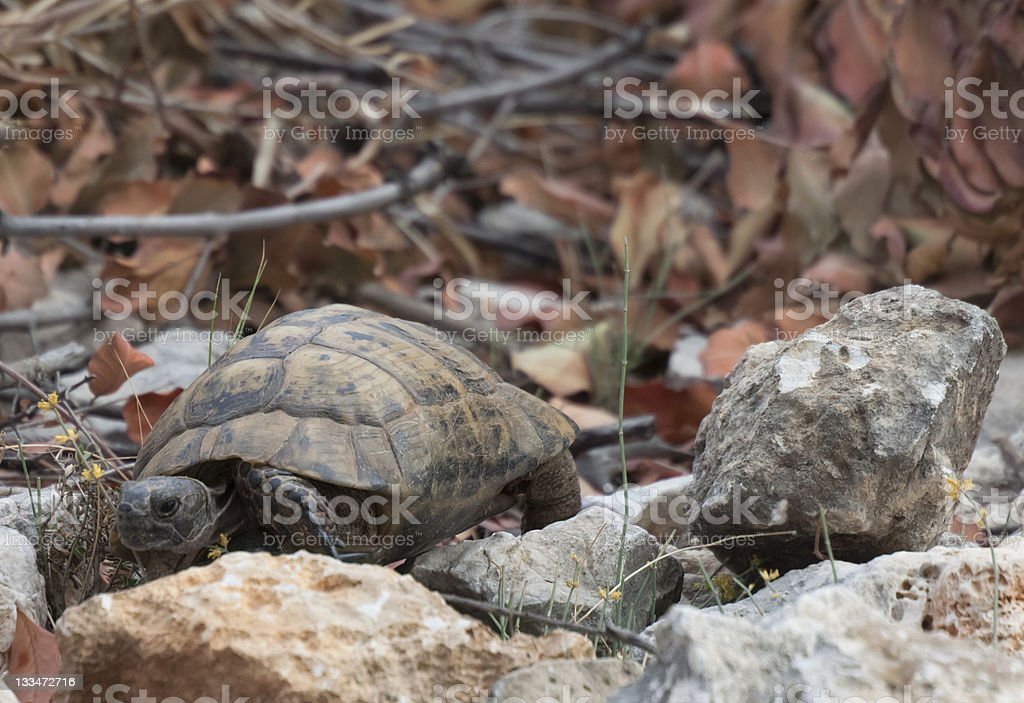 Hermann's Tortoise walking royalty-free stock photo