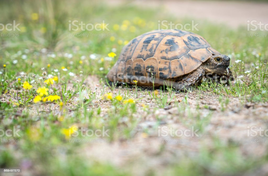 Herman's Tortoise stock photo