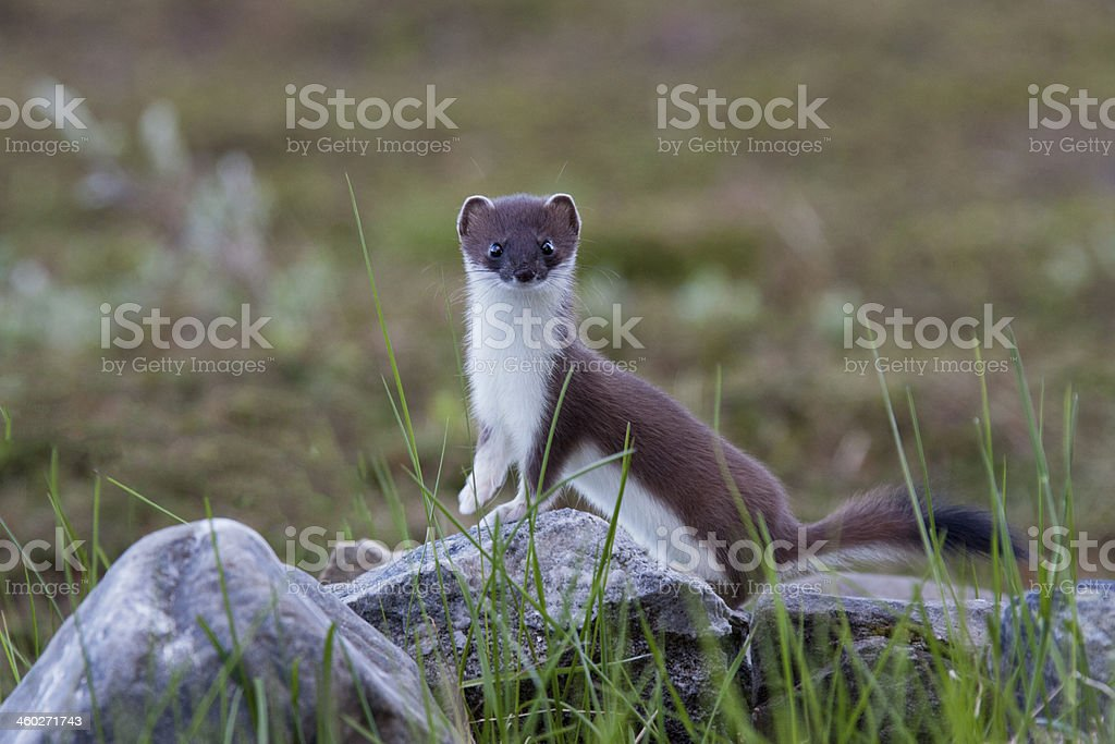 Hermelin, Mustela erminea, stoat stock photo