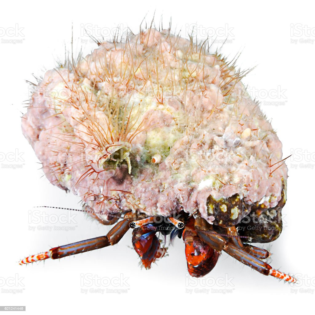 Hermit crab, Clibanarius erythropus, Isolated stock photo