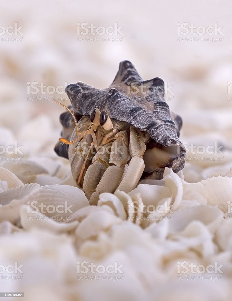Hermit Crab Close Up royalty-free stock photo