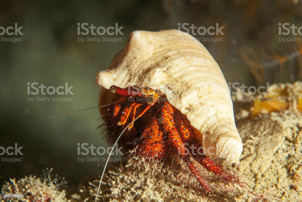 Hermit crab close-up. Sipadan island. Celebes sea. Malaysia. stock photo