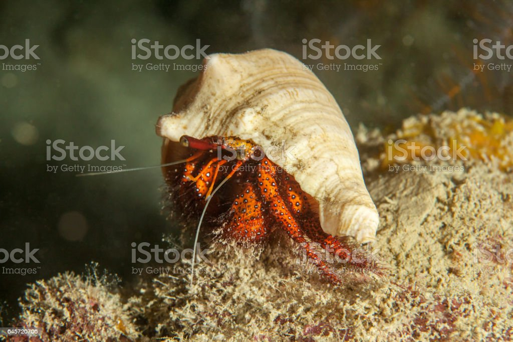 Hermit crab close-up. Sipadan island. Celebes sea. Malaysia. stock photo