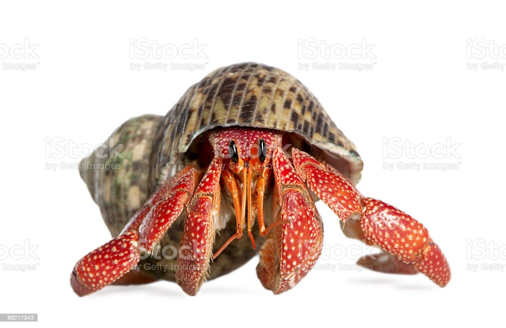 Hermit crab - Coenobita perlatus stock photo