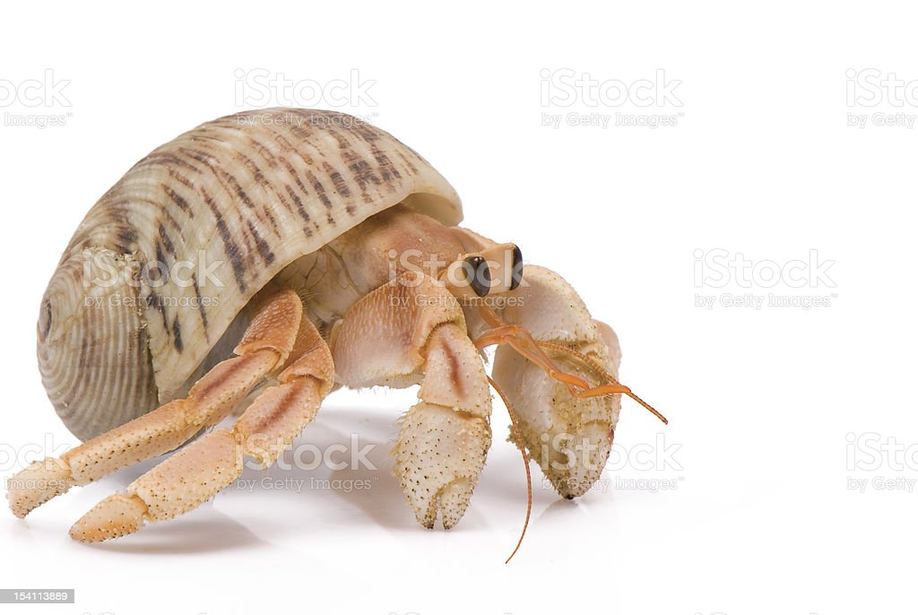 Hermit crab crawling on white background stock photo
