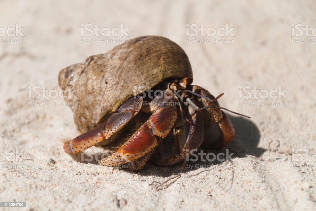 Hermit crab in shell stock photo