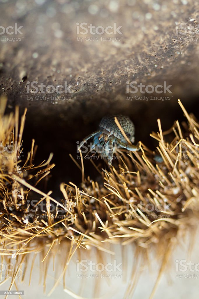 Hermit crab in the shell of coconut stock photo