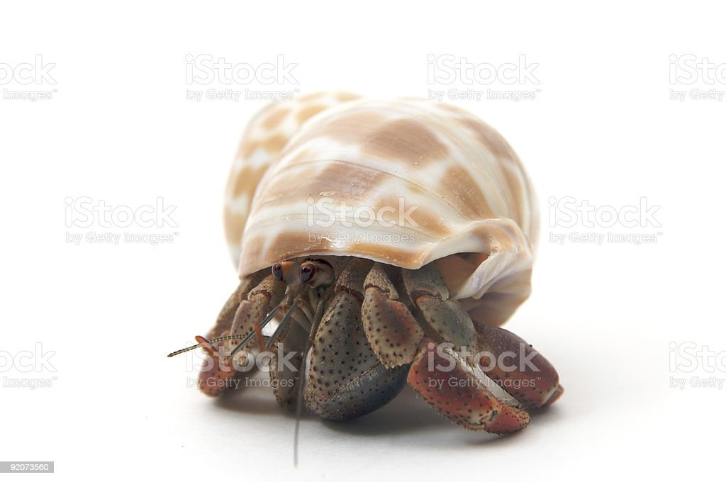 Hermit crab isolated on white stock photo