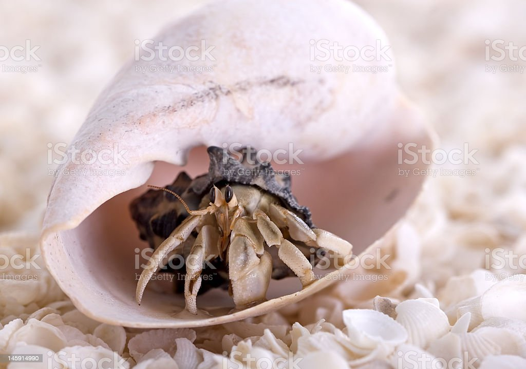 Hermit Crab royalty-free stock photo