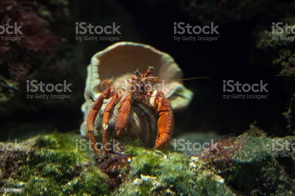 Hermit crab (Pagurus prideaux). stock photo