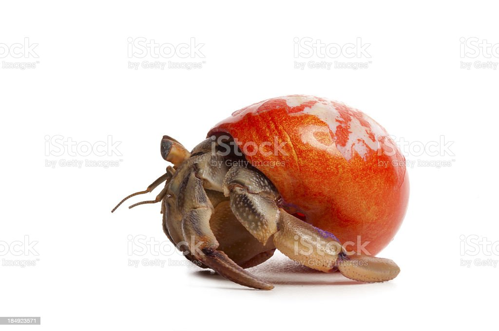 Hermit Crab with Orange Shell stock photo
