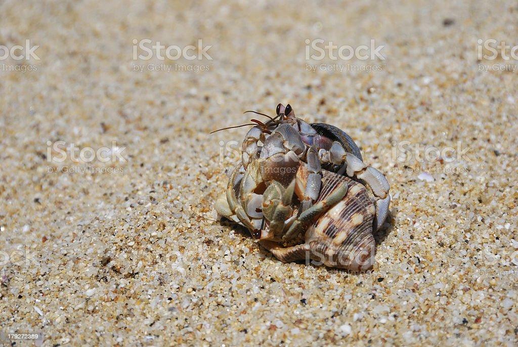 hermit crabs royalty-free stock photo