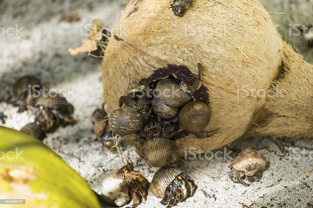 Hermit crabs royalty-free stock photo