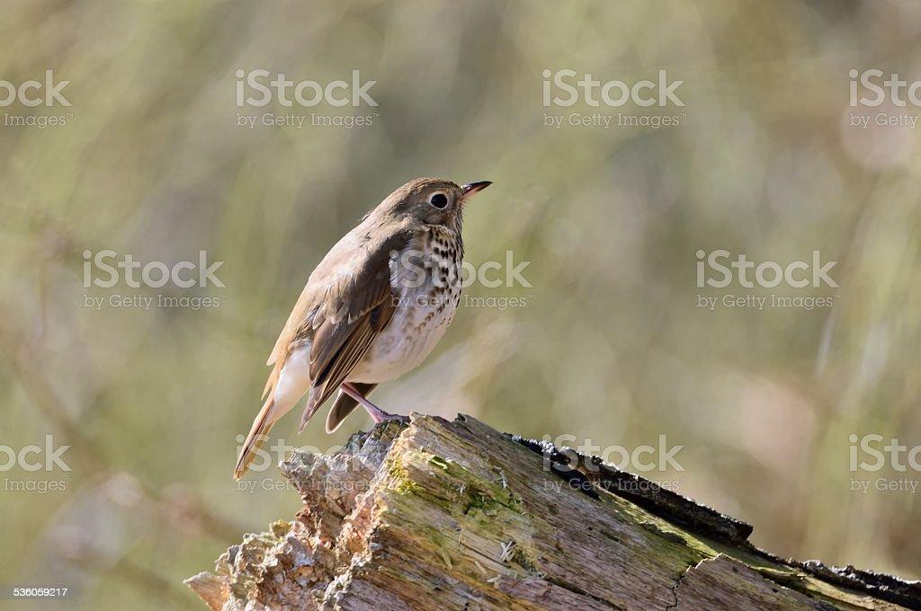 Hermit Thrush On A Stump stock photo