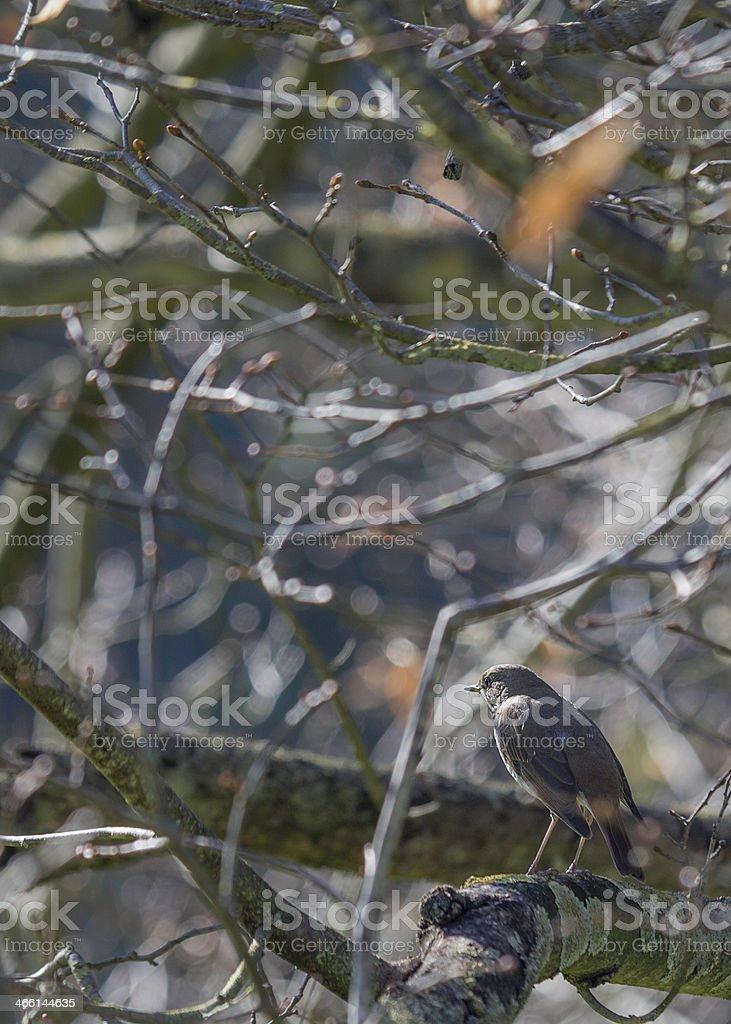 Hermit Thrush stock photo