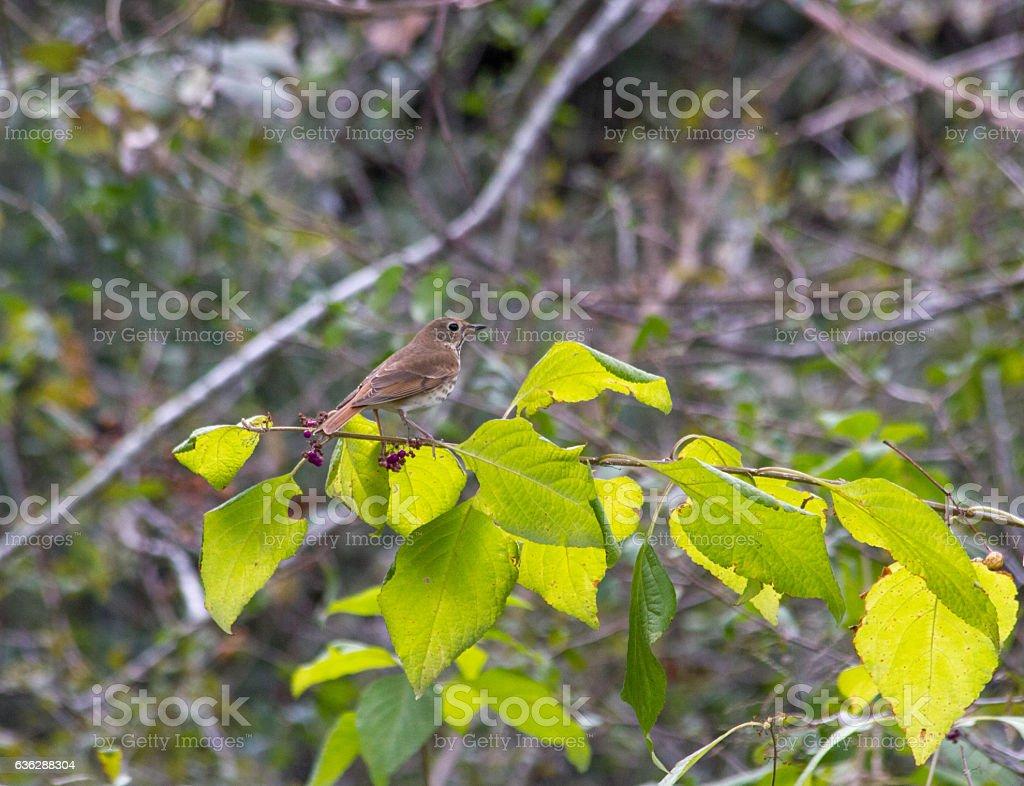 Hermit thrush, sitting on passion bush. stock photo
