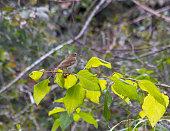 Hermit thrush, sitting on passion bush.
