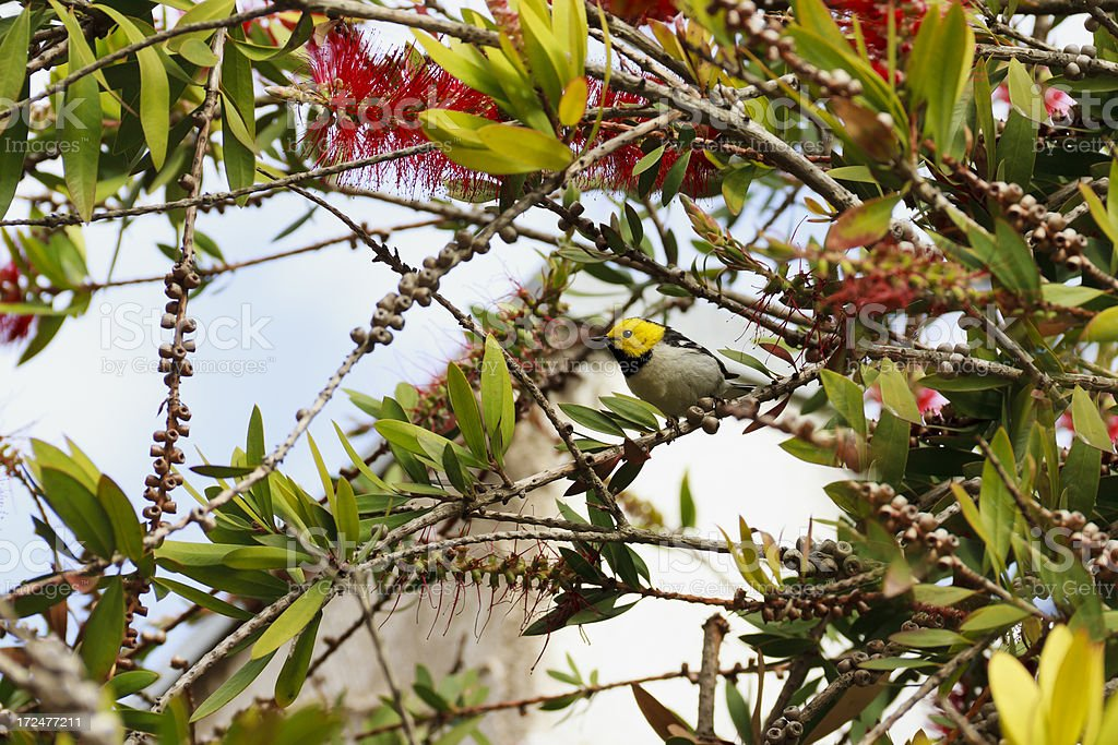 Hermit Warbler (Dendroica occidentalis) royalty-free stock photo