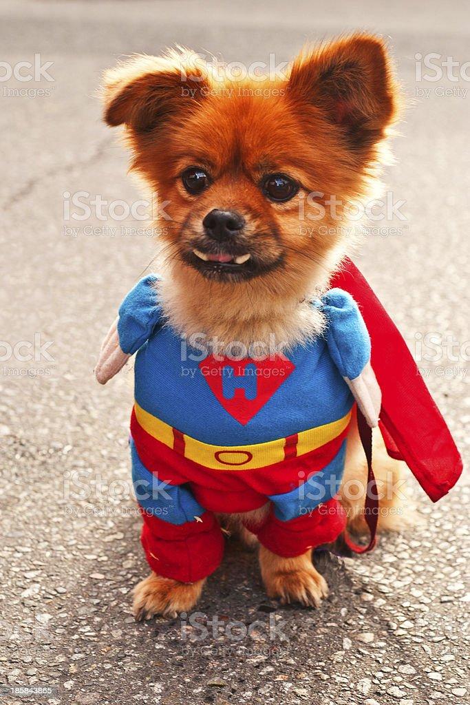 Heroic Pomeranian stock photo
