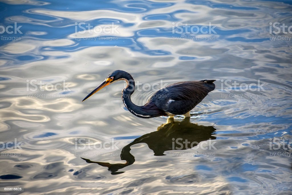 Heron and reflection stock photo