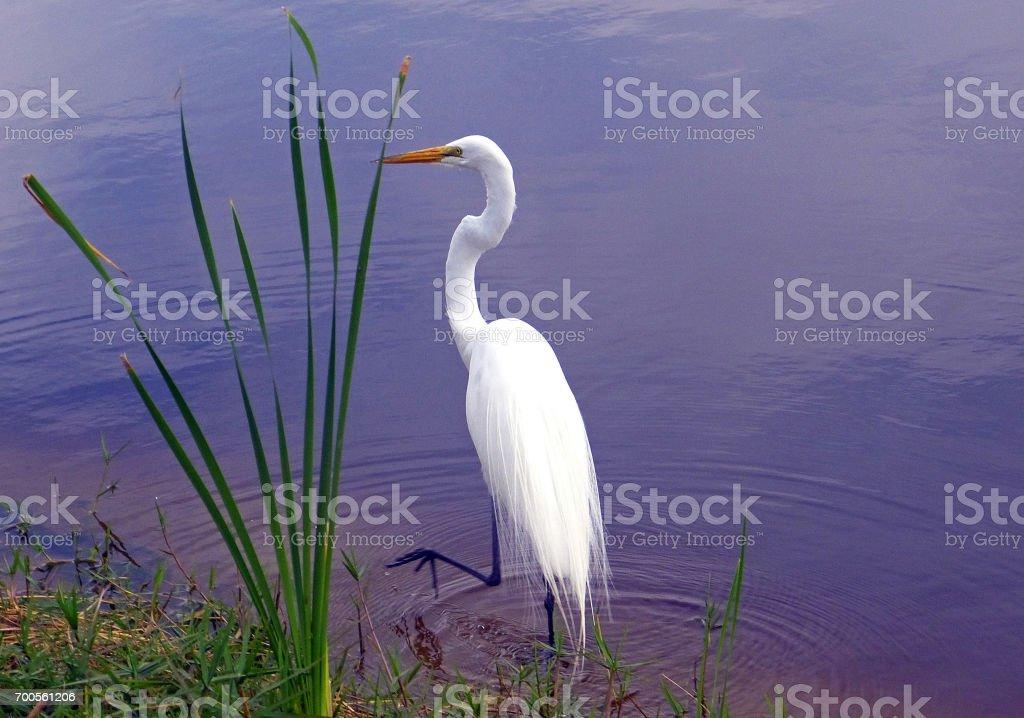 Heron Blanc stock photo