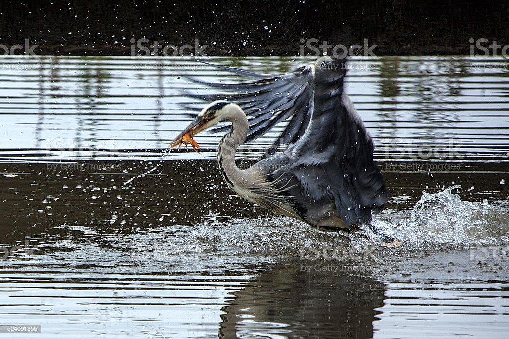Heron catching fish in flight stock photo