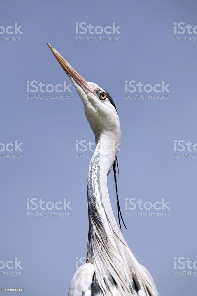 heron close up royalty-free stock photo